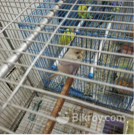 i-want-to-sell-my-birds-along-with-cages-big-3