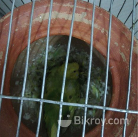 i-want-to-sell-my-birds-along-with-cages-big-2