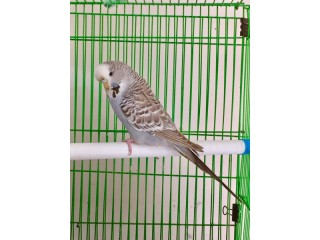 English Cinamone Budgriger pair will be sell