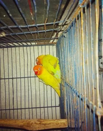 love-bird-lovebird-female-yellow-fischer-big-1