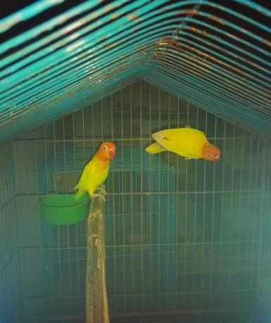 love-bird-lovebird-female-yellow-fischer-big-0