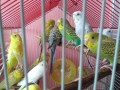 budgies-small-0