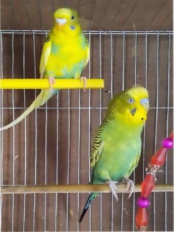 budgerigar-pair-for-sale-big-0