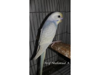 Rainbow & Rainbow Blood Line Budgerigar