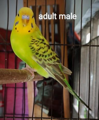 adult-male-big-0